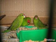 продам самца попугая какарика,  Киев