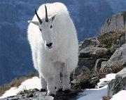 куплю кашмирских. каменных. горных коз.