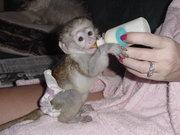 Здоровый обезьян капуцинов Детские
