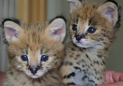 Продаю котят сервала (Serval)