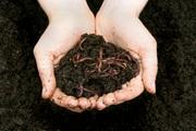 Червь старатель владимирский маточное поголовье - разведение червей