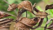 Геккон плоскохвостый Эбенауи (Uroplatus ebenaui)