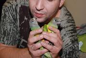 Сенегальский попугай - ручные сенегалы