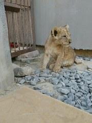 Домашние ручные львята,  срочно дешево,  лев