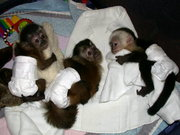 Продажа обезьян-младенцев и других приматов