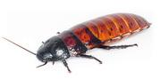 Мадагаскарский шипящий таракан Gromphadorhina portentosa