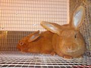 Породистые кролики Черкассы