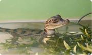 Карликовый крокодил -  Osteolaemus tetraspis
